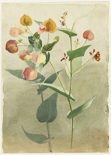 May Gibbs Early Botanical Still Life